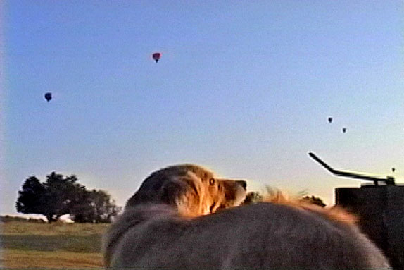 Dog on truck watching balloons